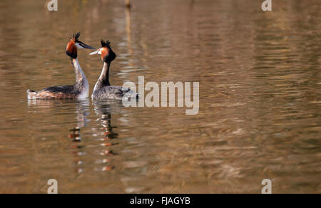 Pair of Great Crested Grebes courting. River Thames, West Molesey, Surrey, England. - Stock Photo