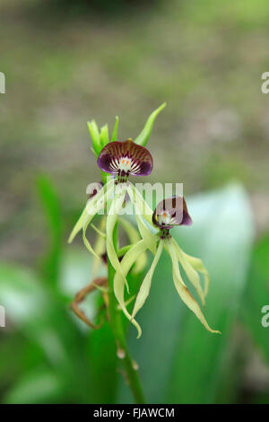 Clamshell orchid (Prosthechea cochleata) growing wild in the rainforest.  National flower of Belize where it is - Stock Photo