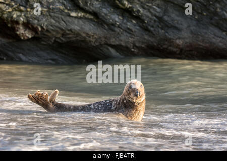 Grey seal (Halichoerus grypus) in shallow sea water against a rocky backdrop - Stock Photo