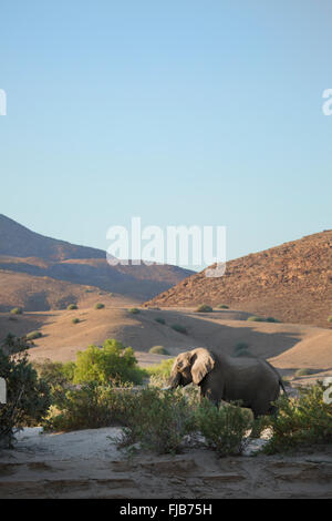 Desert Elephant, Namibia. - Stock Photo