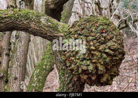 English Pedunculate Oak (Quercus robur) Burr England UK - Stock Photo