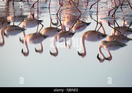 Flamingos at the Walvis Bay wetland - Stock Photo