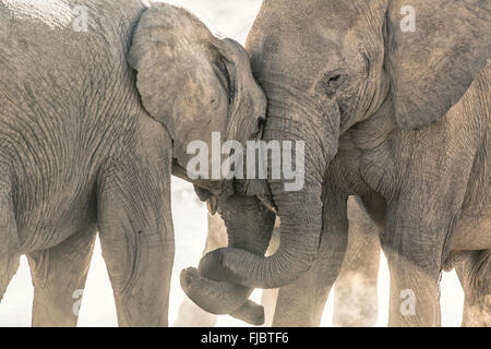 Two elephants tussle - Stock Photo