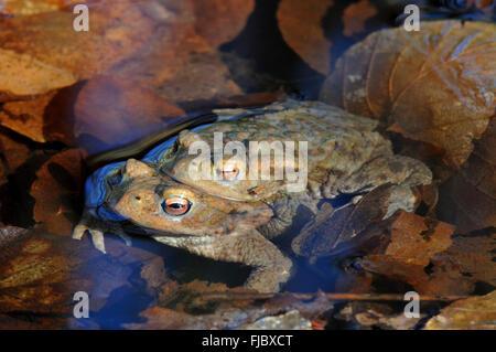 Common Toads (Bufo bufo), mating pair, North Rhine-Westphalia, Germany - Stock Photo