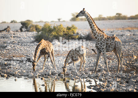 Giraffe in Etosha National Park. - Stock Photo