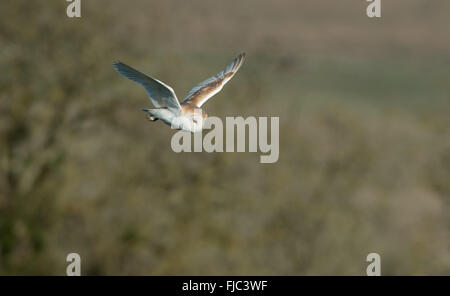 Barn Owl-Tyto alba in flight. Spring. Uk - Stock Photo