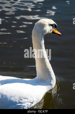 A Male Mute Swan Enjoying Early Spring Sunshine at Fairburn Ings near Castleford West Yorkshire England United Kingdom - Stock Photo