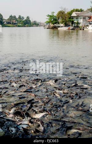 Thailand Ayutthaya Fish in the Pa Sak River where it joins the Chao Phraya River outside Wat Phanan Choeng Worawihan - Stock Photo