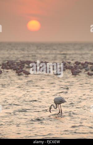 Flamingo at Walvis Bay wetlands - Stock Photo