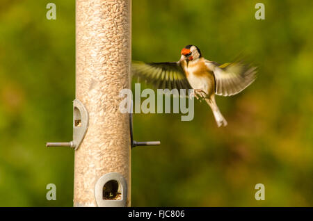 European Goldfinch [Carduelis carduelis] bird feeder filled with sunflower hearts. West Sussex, UK. February. One - Stock Photo