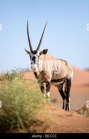 Gemsbok on sand dune - Stock Photo