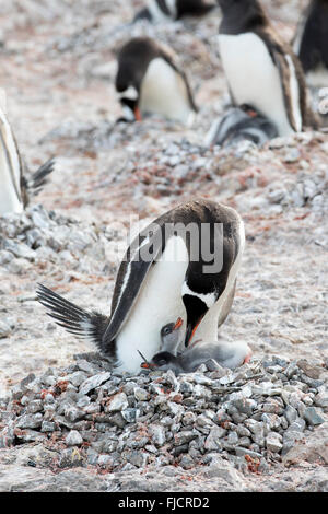 Penguin chicks and adult penguin family in Antarctica. Gentoo penguins (Pygoscelis papua). - Stock Photo