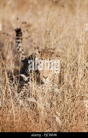 A leopard hunts in the Bushveld - Stock Photo