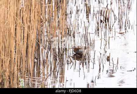 A Water Rail sulking on the edge of a reedbed - Stock Photo