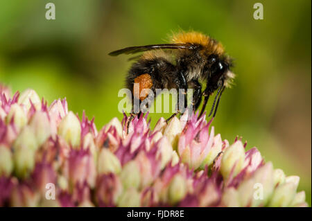 Close-up of a bumble bee - Stock Photo