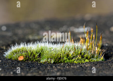 Wall screw-moss (Tortula muralis) wide. A cushion of a common moss with sporophytes and silver colour from projecting - Stock Photo