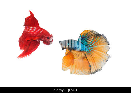 Couple betta fighting fish top form preparing to fight isolated a on white - Stock Photo