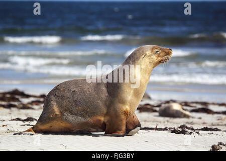 Australian sea lion (Neophoca cinerea) on the beach at Seal Bay, Kangaroo Island, South Australia, Australia. - Stock Photo