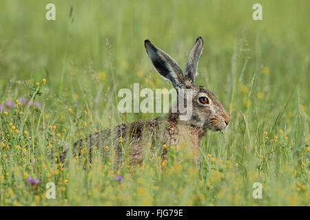 Brown Hare / European Hare / Feldhase ( Lepus europaeus ), adult, sits in a meadow with flowers, feeding on grass, - Stock Photo