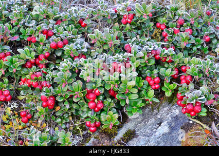 Lingonberry, mountain cranberry (Vaccinium vitis-idaea) with hoarfrost, Kaiser-Franz-Josefs-Höhe, High Tauern National - Stock Photo
