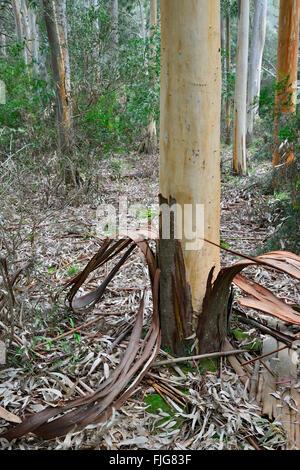 Eucalyptus (Eucalyptus spp.) with peeled bark, Sardinia, Italy - Stock Photo