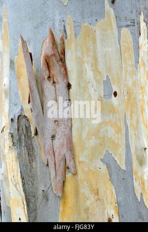 Eucalyptus (Eucalyptus spp.) bark, Sardinia, Italy - Stock Photo