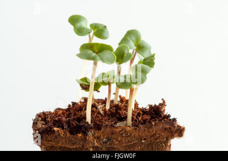 Sprouts of radish, raphanus sativus, seedlings a week after sowing the seeds in the soil - Stock Photo