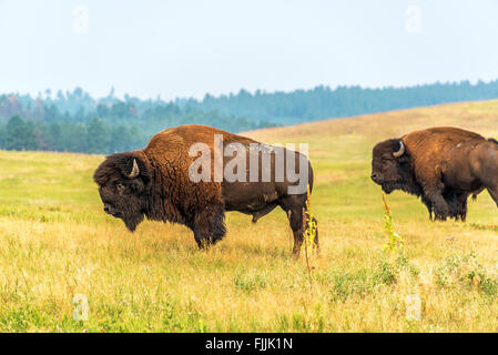 Two bison in Custer State Park, South Dakota - Stock Photo