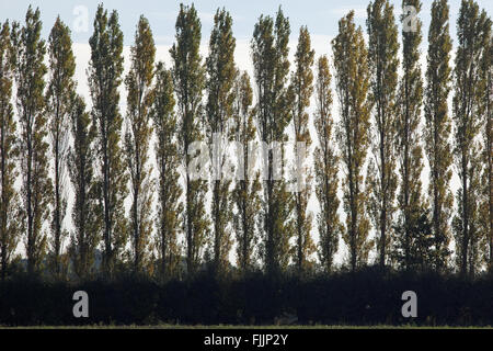 Lombardy Poplar Trees (Populus nigra 'Italica'). Sometimes planted to screen perceived 'eye-sores' within landscape. - Stock Photo