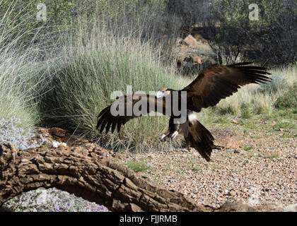 Wedge-tailed Eagles (Aquila audax), Alice Springs Desert Park, Northern Territory, Australia - Stock Photo