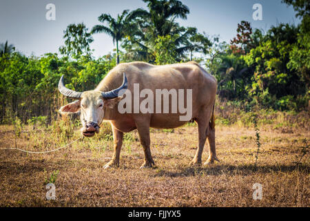 A photo of female Thai buffalo in a field - Stock Photo