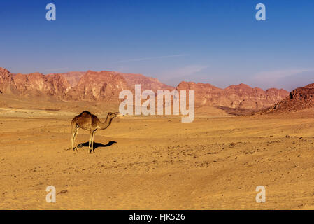 camel on sand in hot Sinai desert Egypt - Stock Photo