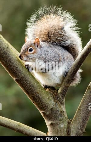 Eastern grey squirrel (Sciurus carolinensis) - Beacon Hill Park, Victoria, Vancouver Island, British Columbia, Canada - Stock Photo