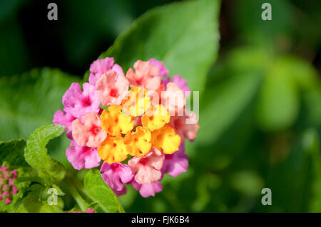Close up of yellow and pink fower named Lantana Camara, also known as big-sage (Malaysia), wild-sage, red-sage, - Stock Photo