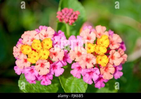 Close up of yellow and pink fower named Lantana Camara, also known as big-sage (Malaysia), wild-sage, red-sage, - Stock Photo
