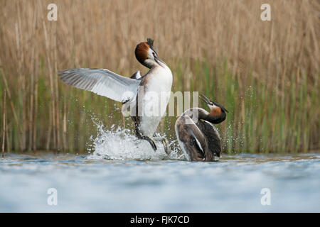 Great Crested Grebes / Haubentaucher ( Podiceps cristatus ), in aggressive fight, defensing breeding-territories - Stock Photo