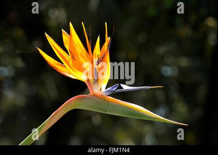 strelitzia reginae flower in a botanical garden - Stock Photo