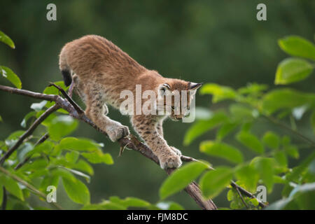 Eurasian Lynx / Eurasischer Luchs ( Lynx lynx ), cute cub with huge paws, balances on a branch of a bush, training - Stock Photo