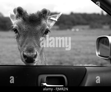 Portrait of deer looking through car window - Stock Photo