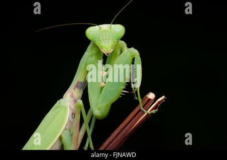 green praying mantis isolated on black background - Stock Photo