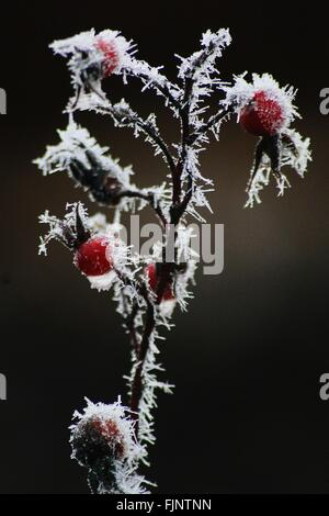 Close-Up Of Snow Covered Rose Hips - Stock Photo