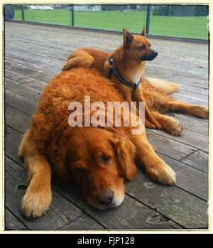Two Dogs Resting On Wooden Plank - Stock Photo