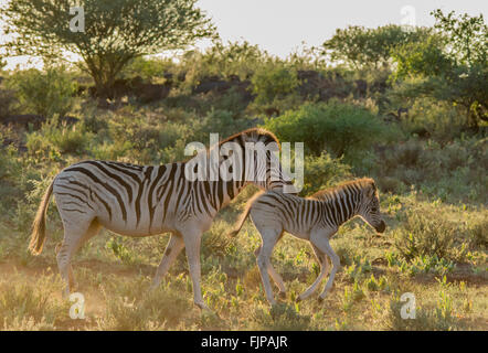 Mother and baby Burchell's Zebra at sunset - Stock Photo