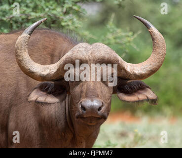 Facial portrait of a young African Buffalo - Stock Photo