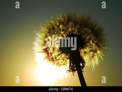 Low Angle View Of Silhouette Dandelion Against Sunset Sky - Stock Photo