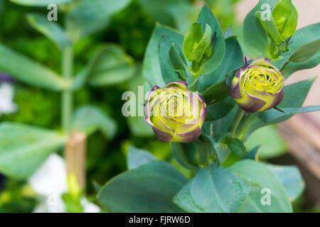 Bouquet Of Violet Lisianthus Flowers ,Eustoma grandiflorum , Gentianaceae - Stock Photo