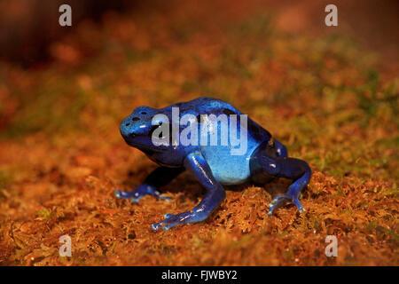 Blue poison dart frog, on shore, South America / (Dendrobates tinctorius) - Stock Photo