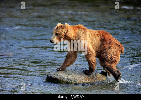 Grizzly Bear adult on rock in water in summer Brookes River Katmai Nationalpark Alaska USA North America / (Ursus - Stock Photo