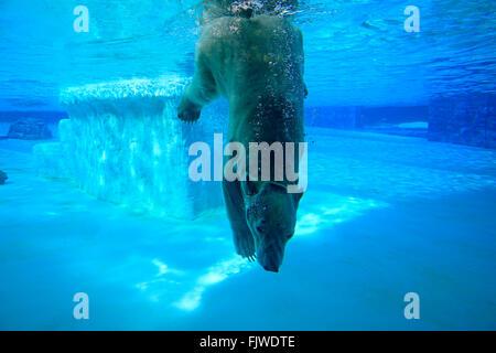 Polar Bear, Singapore Zoo, Singapore / (Ursus maritimus) - Stock Photo