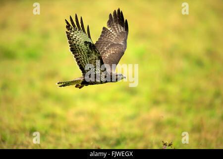Common Buzzard, adult flying, Eifel, Germany, Europe / (Buteo buteo) - Stock Photo